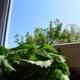 Fenster putzen mit Brennnesseln und Arbeitshandschuhe